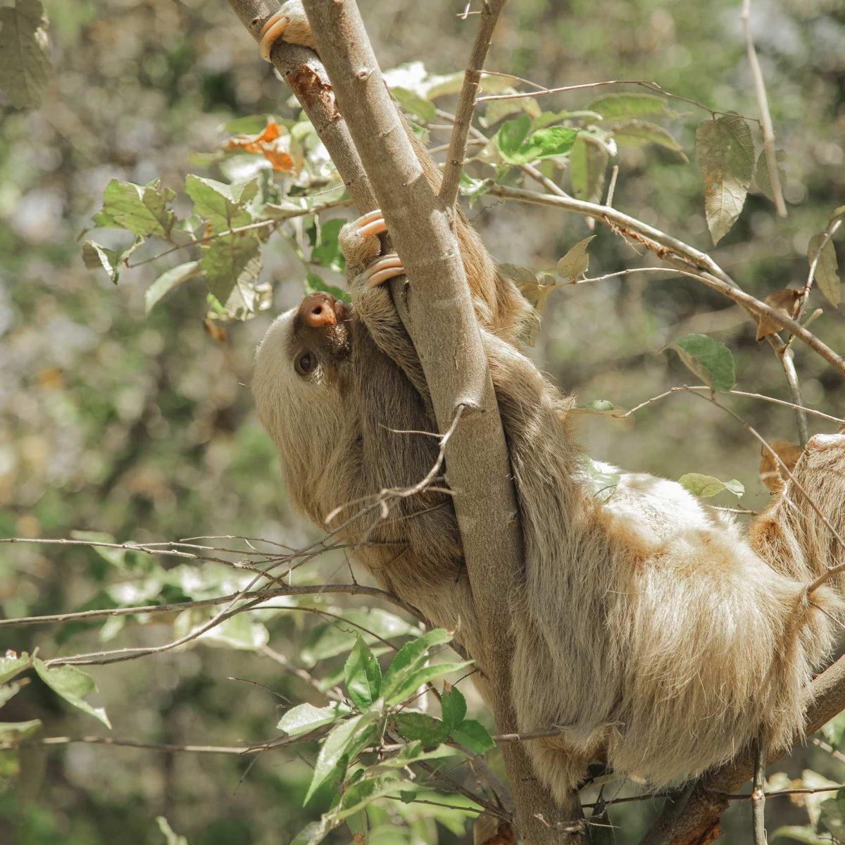 Sloth Central America